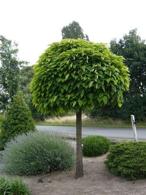 kugel trompetenbaum kaufen catalpa bignonioides nana kugel trompetenbaum