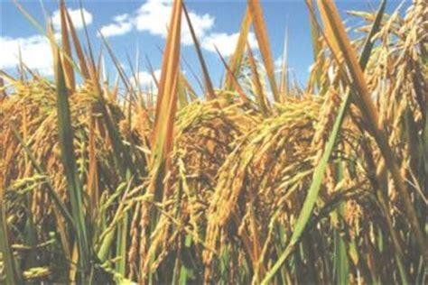 plantadores de arroz conclusiones asociacion plantadores de arroz concretaron