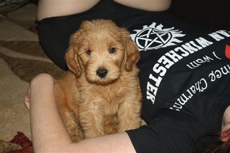 mini labradoodles maine southern maine labradoodles mini and medium
