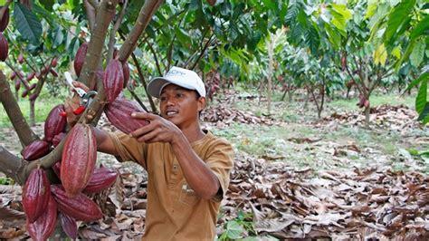 coco yogyakarta indonesia cocoa production plantation development
