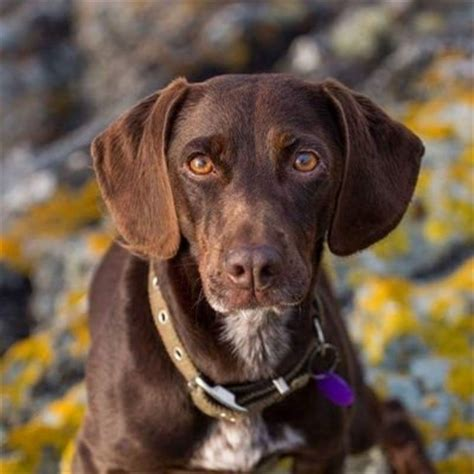 brown dogs brown littlebrowndog