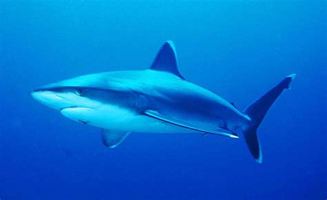 Are Sharks Color Blind rodrigues via mauritius farbenblind sharks are colour