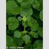 Purple Saxifrage | 240 x 320 jpeg 27kB