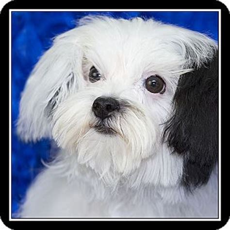 havanese rescue san diego san diego ca maltese havanese mix meet maggie may a for adoption