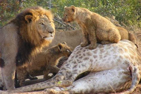 imagenes de leones cazando jirafas leones comiendo una jirafa 38595