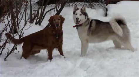 siberian husky or golden retriever golden retriever vs siberian husky hd breeds picture