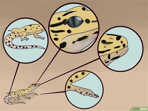 geco leopardino alimentazione come prendersi cura geco leopardino 20 passaggi