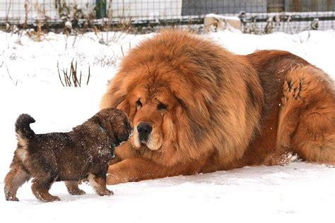 best big top 5 big breeds