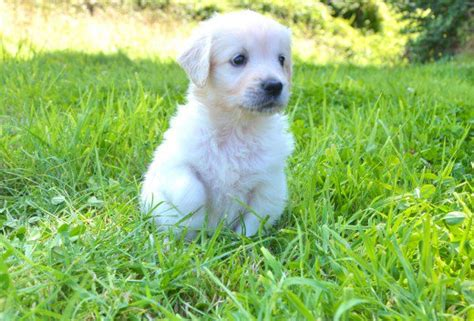 what color will my golden retriever be the about white golden retrievers pethelpful