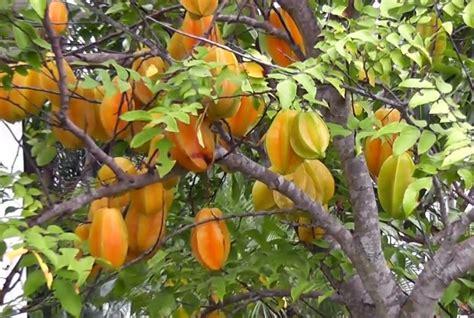 menanam budidaya belimbing pertanian