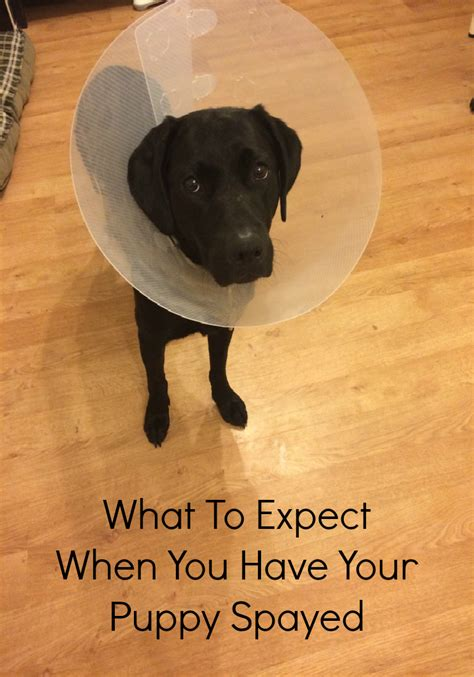 what to expect with a puppy what to expect when you your puppy spayed the of spicers