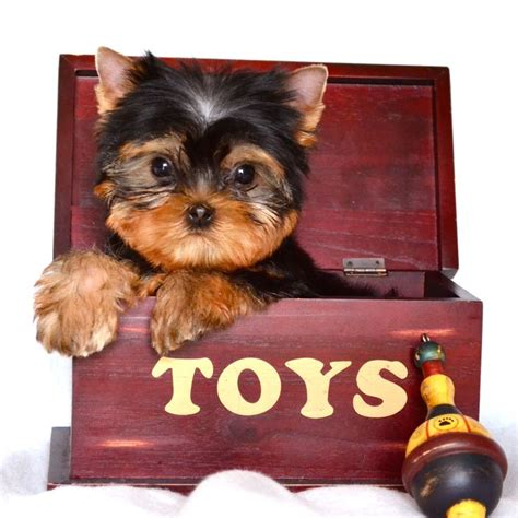 teacup silky yorkie for sale 147 best images about teacup yorkie puppies on