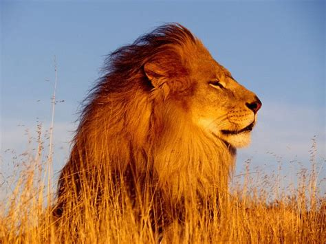 google images lion lion google search animales pinterest