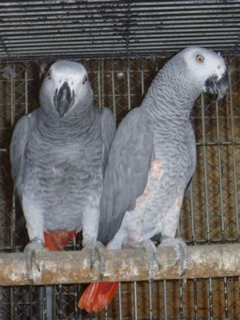 jsghgg african grey parrots available for new homes los