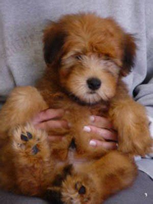 soft coated wheaten terrier puppies for sale soft coated wheaten terriers puppies for sale sweetie wheaties