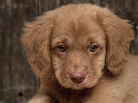 golden retriever puppiea sad puppy puppies wallpaper 9726248 fanpop