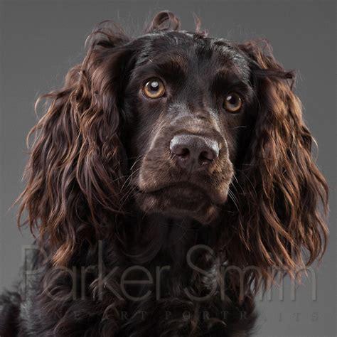 "Boykin Spaniel - ""Harper"" | Awesome Dog Photography ..."