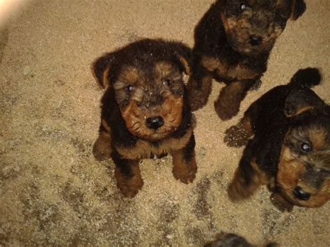 welsh terrier pictures information temperament