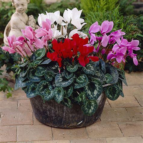 cyclamen metis persica mix  garden ready plants yougarden