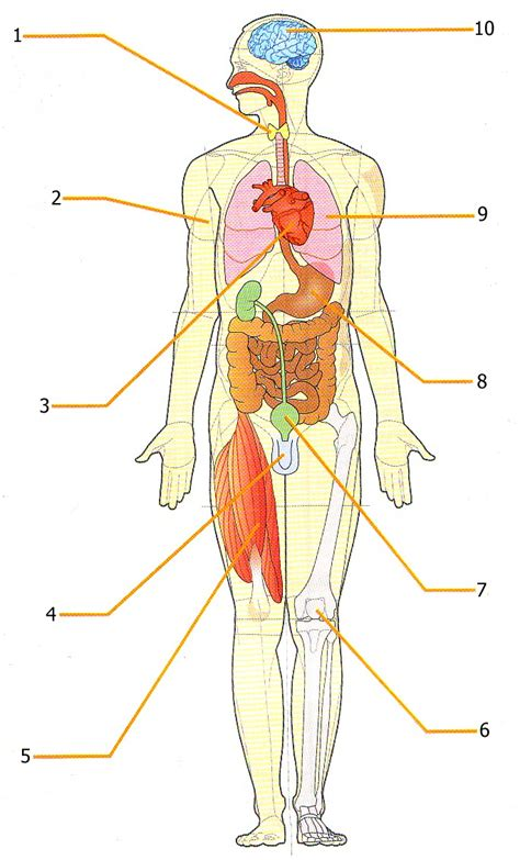 corpo umano organi interni milza ricerche correlate a organi interni corpo umano milza