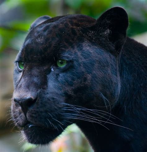 pictures of black jaguars beautiful black panther photo this photo was uploaded by