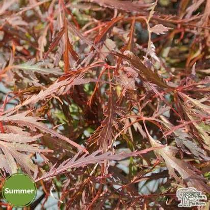 buy acer palmatum dissectum crimson princess japanese