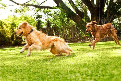 best dogs for running the 10 best breeds for running blackmores