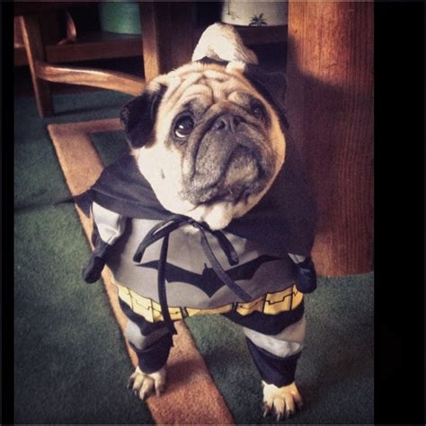 pug batman costume pin by kristin devocelle on puggy stuff
