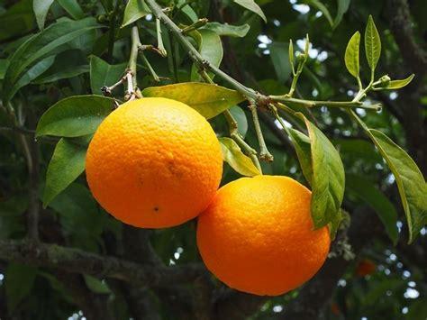potatura arancio in vaso arancio citrus sinensis frutteto arancio frutteto