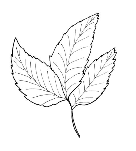 hickory tree coloring page maple leaves coloring pages sketch coloring page