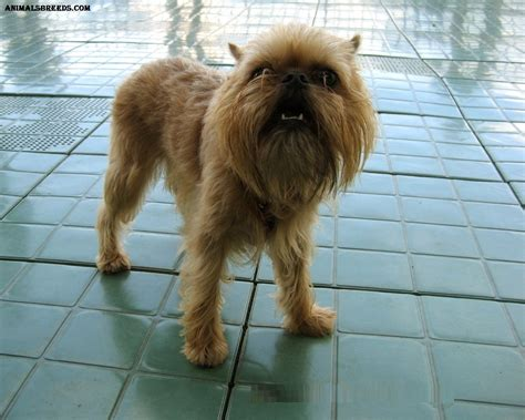 brussels griffon brussels griffon breed pictures information temperament characteristics