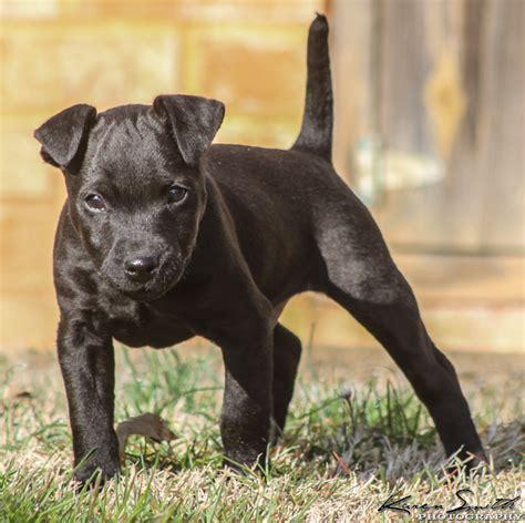 patterdale terrier puppies patterdale terriers grosir baju surabaya
