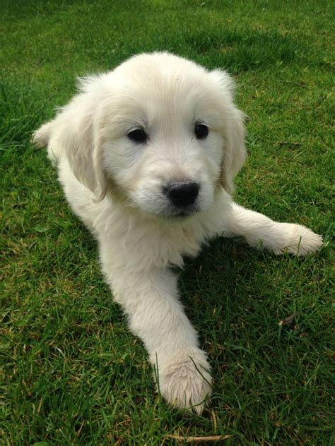 golden retriever with boy kc reg golden retriever puppies 1 boy 2 grantham lincolnshire pets4homes