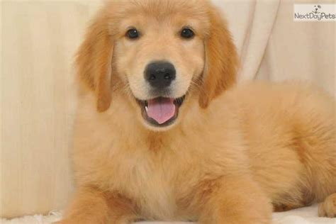 newborn golden retriever for sale golden retriever puppy for sale near springfield missouri 32bb90db 9b71