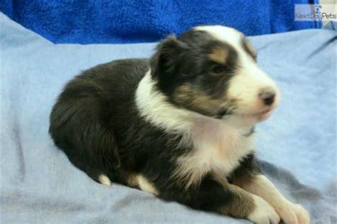 munchkin puppy meet munchkin a shetland sheepdog sheltie puppy for sale for 700 tricolor