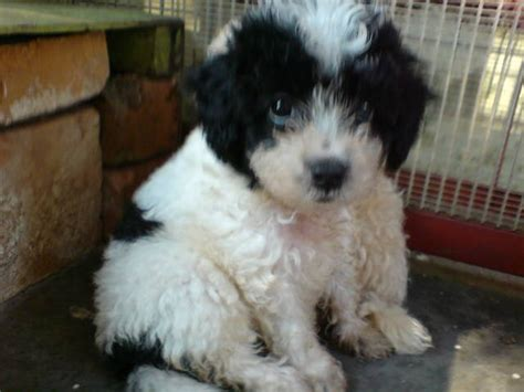 poodle puppies for adoption free poodles for adoption breeds picture