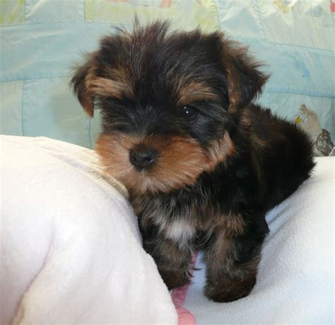 yorkie breeders uk teacup terrier puppies for sale west midlands breeds picture
