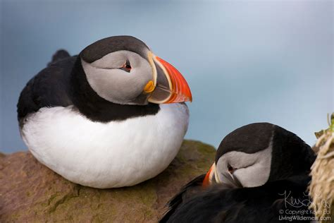 atlantic puffins on ledge iceland living wilderness