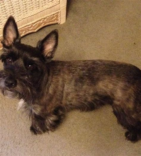 yorkie silky terrier mix for sale max my fourche terrier hybred westie yorkie mix groomed like a schnauzer by