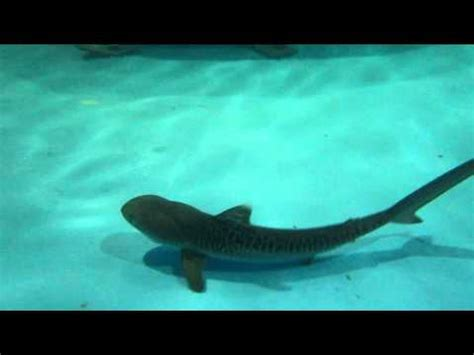 baby shark one utama baby tiger shark youtube