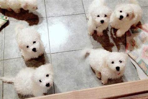bichon frise puppies florida bichons frise for sale ads free classifieds