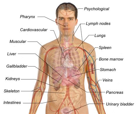 diagram of human organs in the human diagram of organs www uocodac
