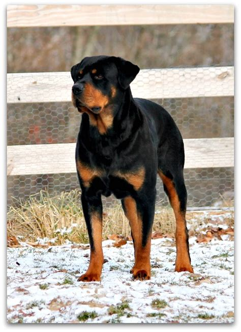 rottweiler guard big scary dogs www pixshark images galleries with a bite