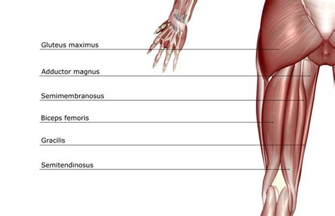 hamstring muscles diagram hamstring muscles