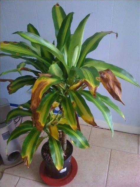 care  house plantsmassangeana cane plant