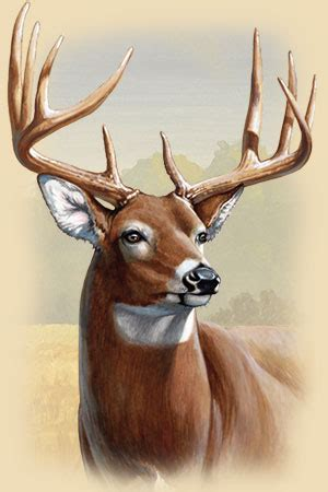 how to buck whitetail deer facts information and photos american