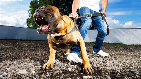 10 most dangerous dogs top 10 most dangerous dogs in the world most vicious breeds