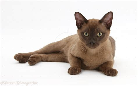 cat and images burmese cat history personality appearance health and pictures
