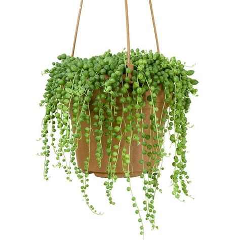 best small hanging plants bead plant senecio rowleyanus string of pearls 2 5 quot pot