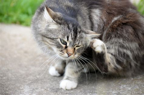 Sho Kutu Untuk Kucing lompatan kutu anjing dan kucing 20 kali lebih cepat dari